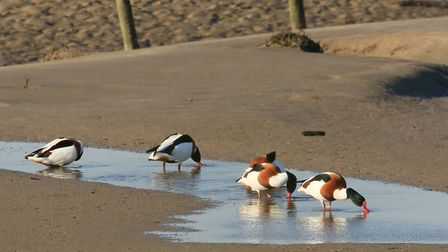 Shelduck are easy to spot at Horsey Island with their distinctive colouring. Photo: Martin Batt