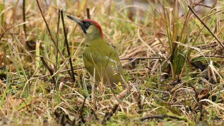 You may spot the striking green woodpecker in your locality, it eats ant so can be seen on the groun