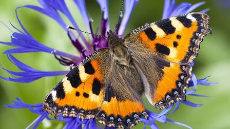 A small tortoiseshell butterfly, pictured in Devon. Photo: Wendy Newing