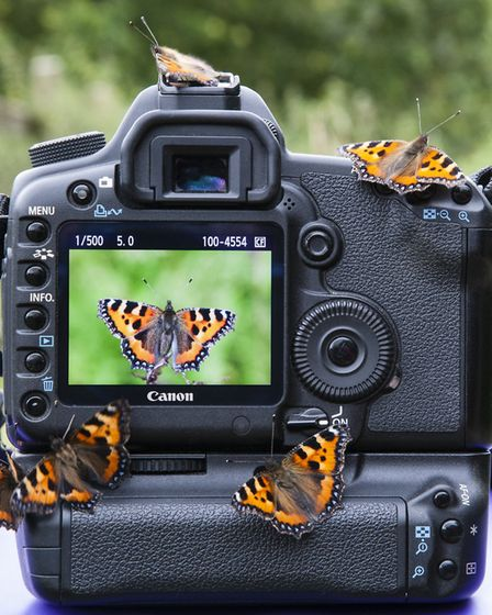 Some small tortoiseshell butterflies photographedin Devon by Wendy Newing soon after emerging from