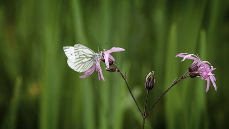 A green-veined white butterfly y feeding on ragged-robin. Photo: Wendy Newing