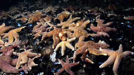 Common starfish are often found in dense mussel beds. Picture by Paul Naylor