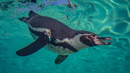 The penguins at Chester Zoo can be seen both on their beach and under the water, through a special v