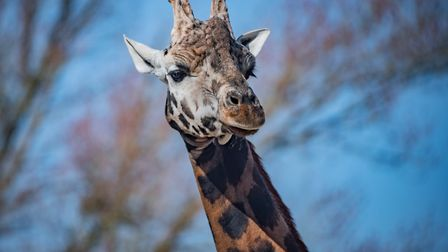 Strangely graceful, the giraffes are one of Chester Zoo's greatest assets