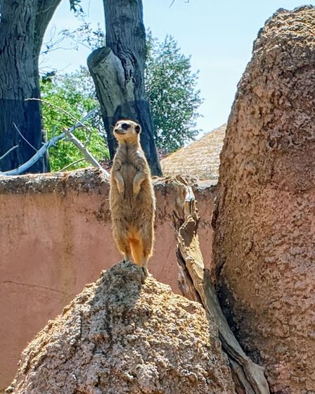 Who doesn't love a meerkat?
