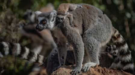 Ring-tailed lemurs are just one of the beautiful animals to be found at Chester Zoo