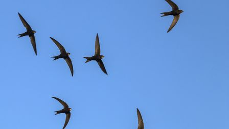 A flock of swifts (c) avs_lt/Getty Images/iStockphoto