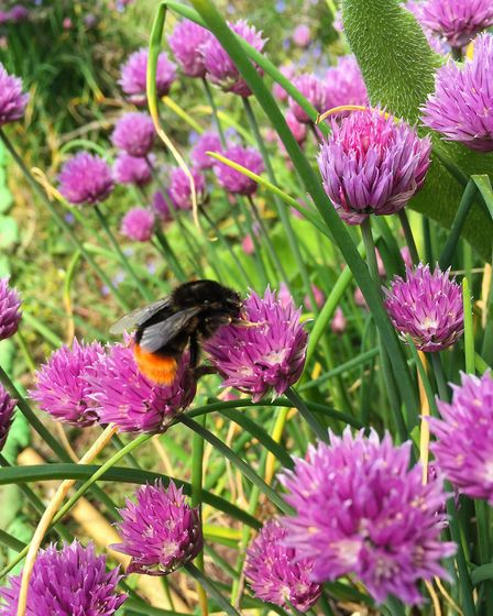 Chive flowers are super easy to grow and loved by pollinators. Photo: Greens of Devon
