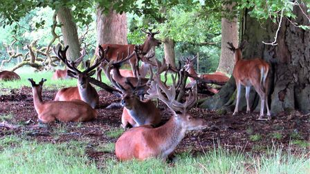 The Tatton red deer Photo: Paul Taylor