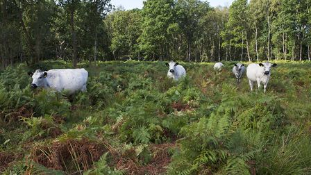White park cattle amongst Bracken Pteridium aquilinum at Hook Common