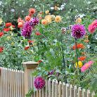 Plant dahlias in large groups for a stunning effect