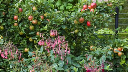 Espaliered apples at West Dean. Photo: Leigh Clapp
