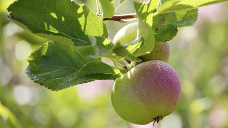 Pixie apple ripens on the tree. Photo: Leigh Clapp