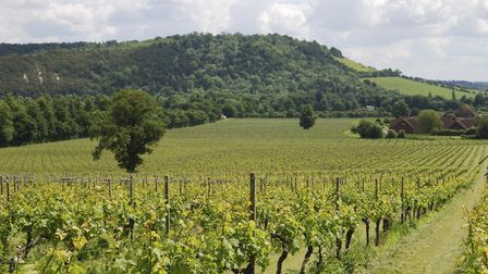 View over grapevines at vineyard on the North Downs. Dorking. Surrey. England
