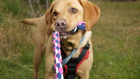 Myles, a playful 2 year old Labrador, who came to Blue Cross in Devon for rehoming, then transferred