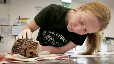 Anj Saunders tends to a newly arrived hedgehog at Oak and Furrows, brought to the centre by a member
