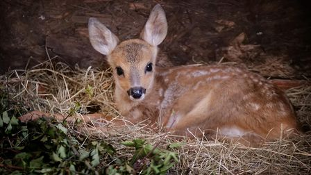 A two-month-old Roe deer, one of three being cared for at Oak and Furrows, until they are released b