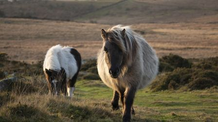 Ponies on Whitchurch Common PIC CREDIT © DNPA