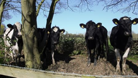 Some of the cows at Mabels Farm on Back Street who produce enough milk to fill 300,000 bottles that