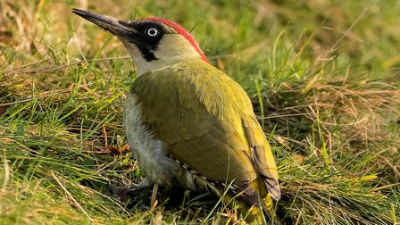 Watch out for green woodpeckers in search of ants on lawns and meadows.
