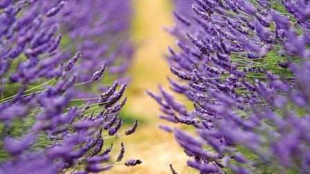 Mayfield Lavender fields in Banstead. Image: Andy Newbold