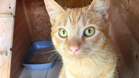 Beautiful boy Simba is looking for a new home. Photo: Sandbach Animal Rescue