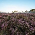 Calluna (heather) in bloom in Surrey. Image: Getty Images/iStockphoto