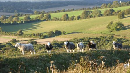 Sheep on ramparts of Old Winchester Hill (Photo by Fiona Barltrop)