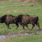 Bison will soon roam Blean woods near Canterbury Photo: Amanda Fegan
