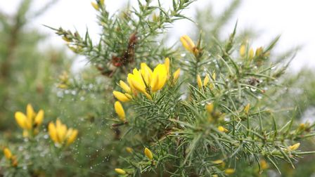 Gorse, one of the wild foraged ingredients used within Rhug Wild Beauty