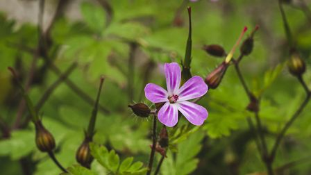 Herb Robert (Photo: OriginalOutdoorMedia/Getty Images/iStockPhoto)