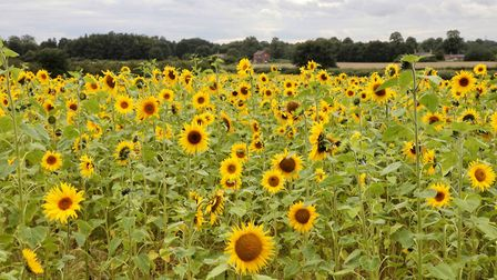 The sunflower field at Dunham Massey by Anthony Marsh