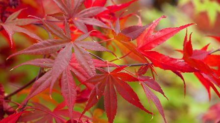 Acers are a great choice for colour. Photo: Leigh Clapp