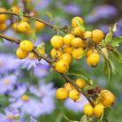 Asters contrast prettily with golden crab apples. Image: Leigh Clapp