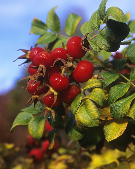 Glossy rose hips. Image: Leigh Clapp