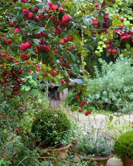 A specimen crab apple makes an attractive scene with topiary containers. Image: Leigh Clapp