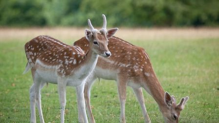 Knole has an incredible 1,000-acre deer park