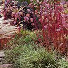 As the attractive autumn foliage drops on cornus the vibrant red stems are revealed. Photo: Leigh Cl