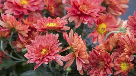 Chrysanthemum is the birth flower for November and there is an array of cultivars to choose from, su