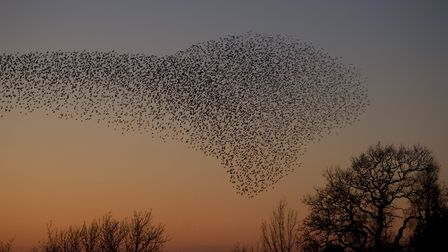 Large Starling roost at sunset
