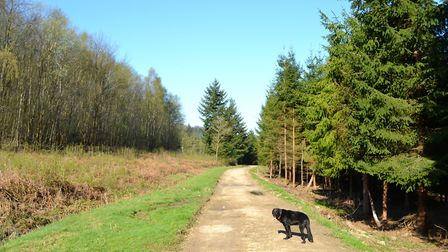 Birch and coniferous woodland close to Henley village (Photo by Hazel Sillver)