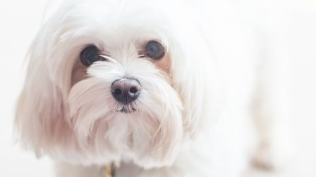 Maltese dog Gozo is a Pets As Therapy Dog. Photo: Carolyn Seager
