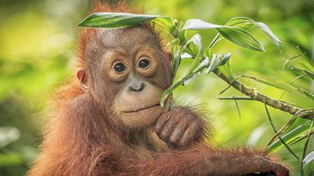 Baby orangutan. The species, found only in forest habitats of Sumatra and Borneo has been decimated