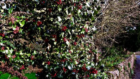 Berry-laden holly. It was traditionally planted near buildings to protect from lightning. Photo: Sim