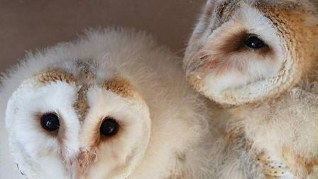 Muffin and Biscuit, two of the rescued barn owlets. Photo: Wild Wings
