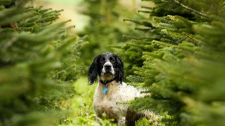 For some it's just a big green playground. The family dog at Festive Trees Hertfordshire. Image: Dan