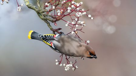 Waxwing - a beautiful winter visitor that can be spotting in gardens. Image: Donald Sutherland