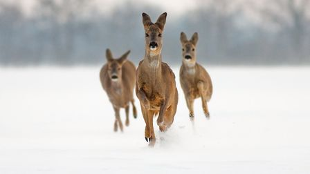 Native roe deer. What animal tracks can you and the family spot in the snow? Image: JMrocek/Getty Im