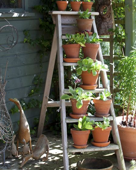 An old ladder displays a collection of auriculas