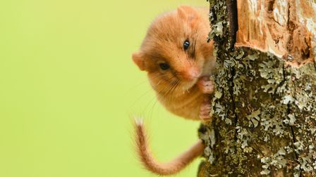 Rare hazel dormouse is threatened by frosts hitting hazel trees that have bloomed early, killing its
